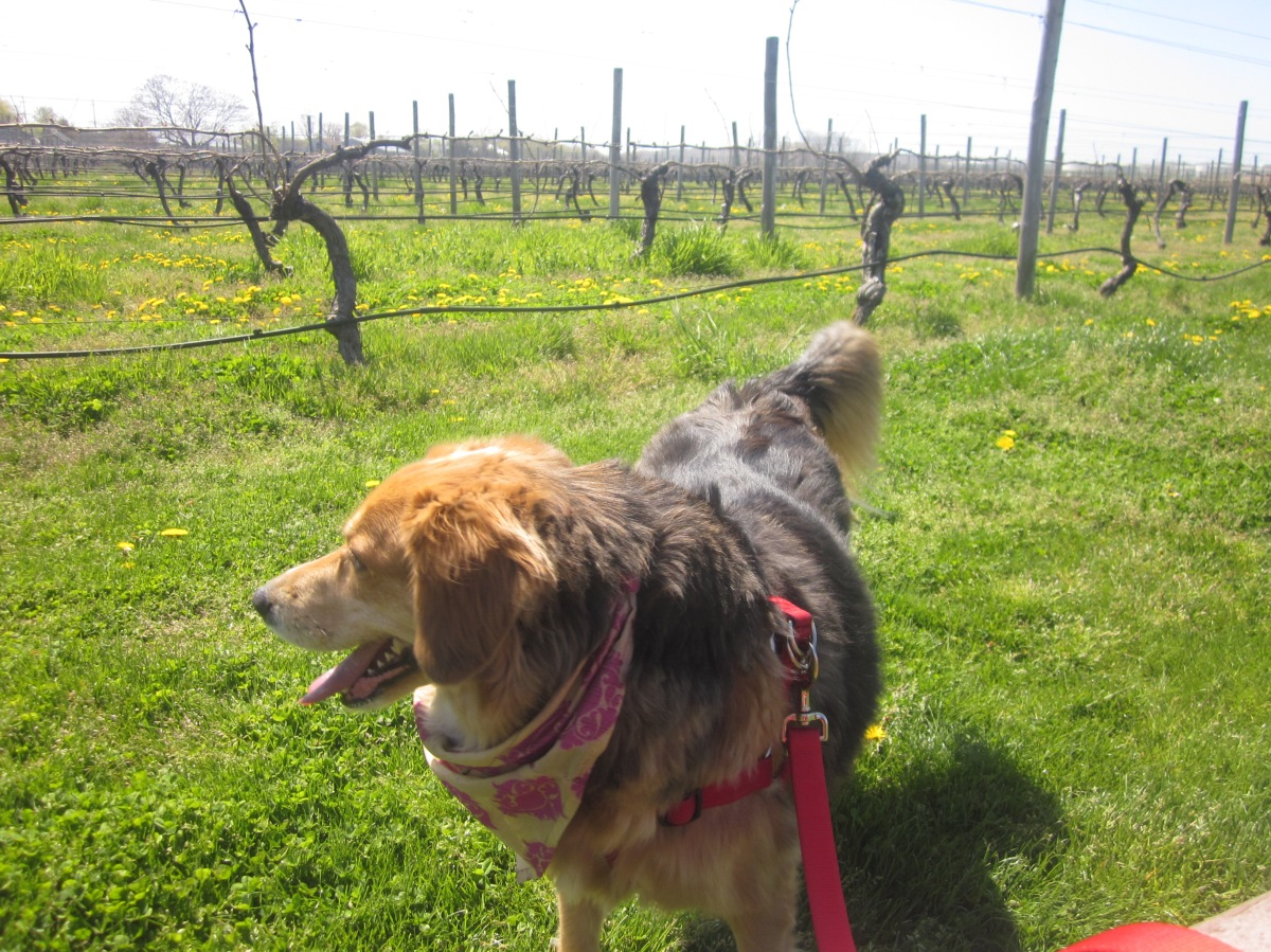 North Fork's Best Dog-Friendly Wineries
