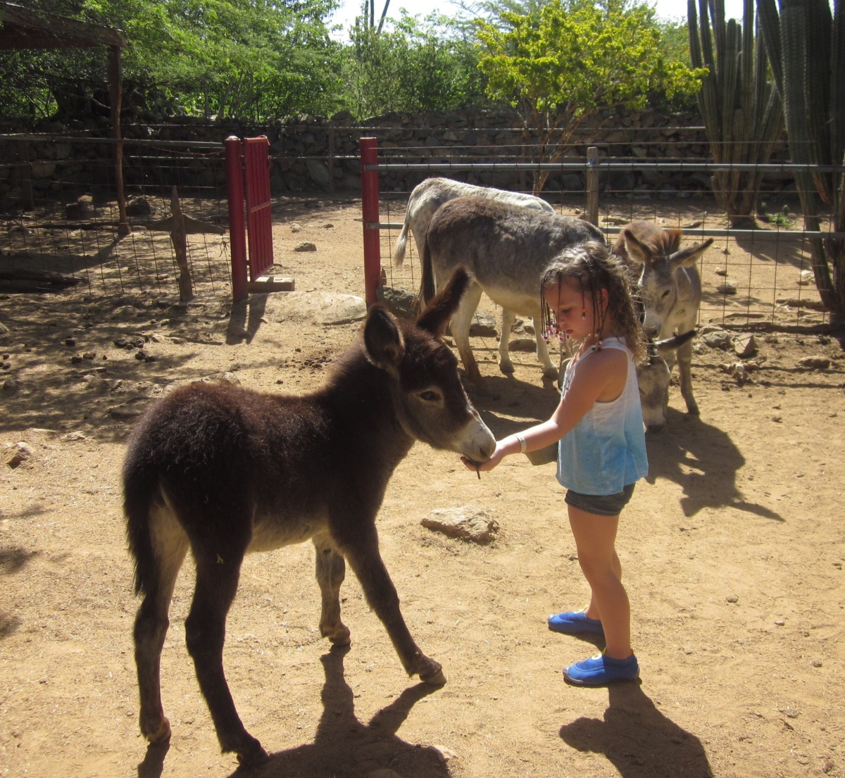 Aruban Sanctuary Provides Safe Haven for Donkeys