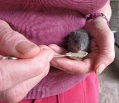 a- bush rat