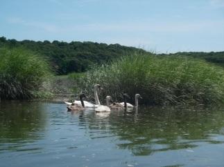 Kayaking- Swans