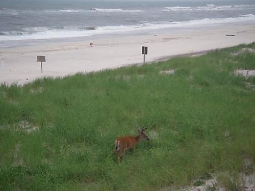 Watch Hill- Deer