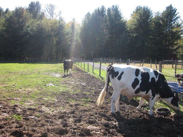 WFAS-Cows