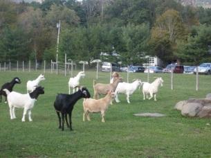 WFAS- Goats