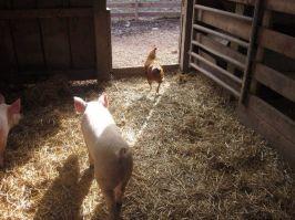 WFAS- Piglets