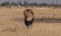 Photo credit: Cecil the Lion in Hwange, Zimbabwe by Bryan Orford/YouTube