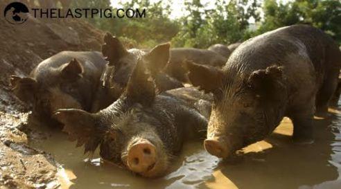 The Last Pig3