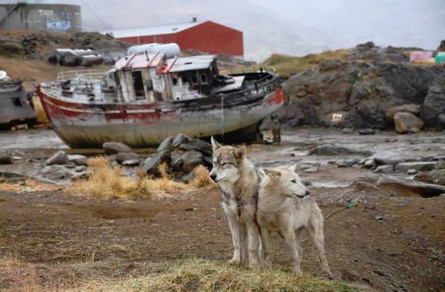 Greenland-Dogs (1)