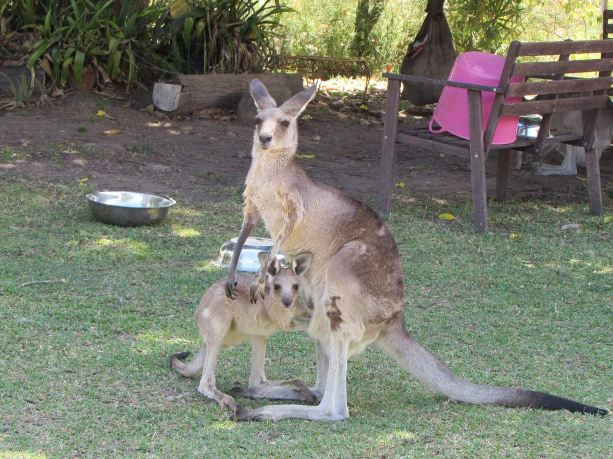 VOLUNTEERING AT A KANGAROO SANCTUARY: MY AUSTRALIAN ADVENTURE (Green Global Travel)
